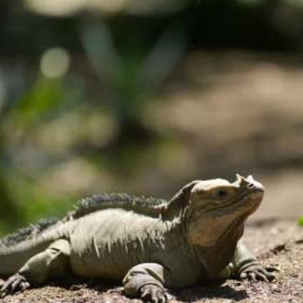 Iguanaland at Scape Park